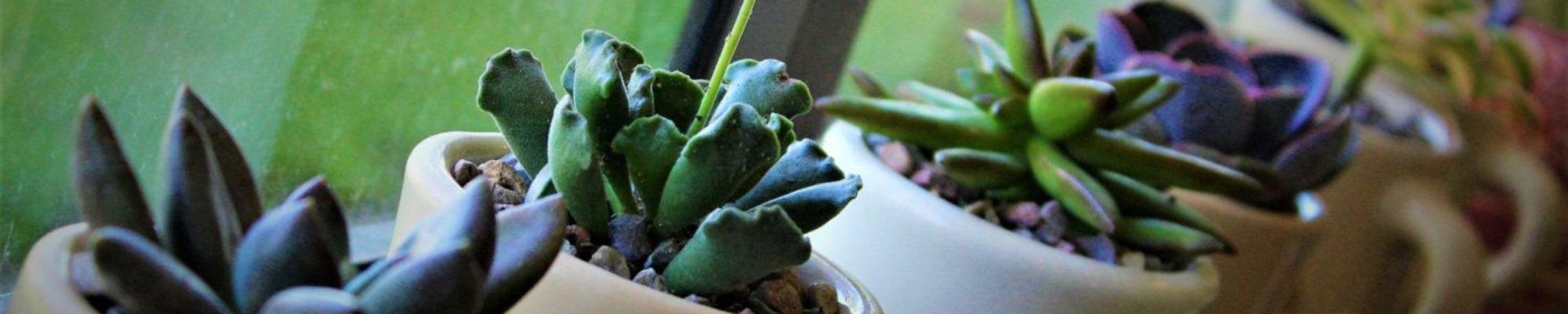 Suburban Succulents